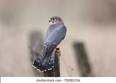 A Merlin,Falco columbarius,sitting on a fence post.
