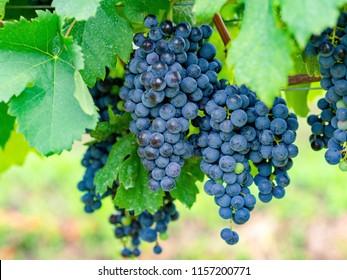 Merlot, grape, beauty in nature