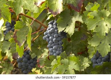 Merlot grape in Saint Émilion