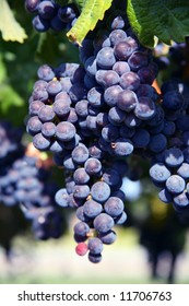 Merlot Grapes on Vine in Vineyard