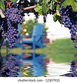 Merlot Grapes on Vine in Vineyard Reflecting in Water