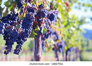 Merlot Grapes on Vine in Vineyard with Copy Space