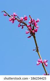 Merlot red bud tree in bloom