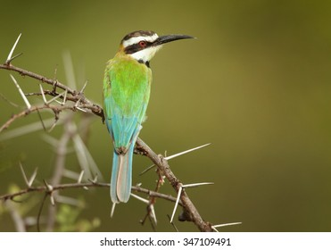 Merops albicollis, White-throated Bee-eater perching on acacia twig. Distant green background. Tanzania, Saadani.