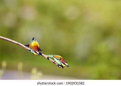 Merops apiaster, European bee-eaters are seriously debating the best site to build their nest.
