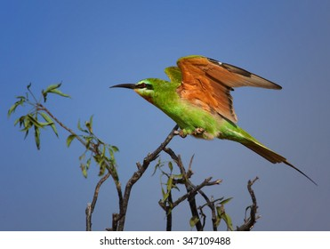 Merops persicus   Blue-cheeked Bee-eater perched on acacia twig with outstreched wings and  blue sky as background, Uganda