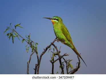 Merops persicus   Blue-cheeked Bee-eater perched on acacia twig with blue sky background, Uganda