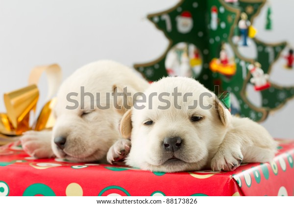 Cute Christmas Puppies.Merry Christmas Cute Puppies Christmas Gift Stock Photo