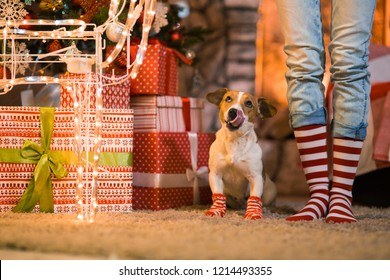 Merry Christmas. Family child legs and dog in striped red and white socks under the Christmas tree in garlands and gifts