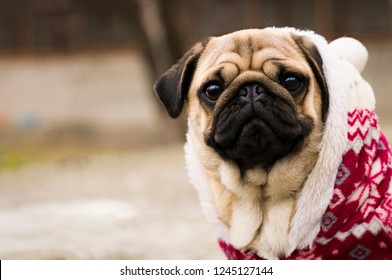 Merry Christmas. Happy New Year. Close up photo of puppy pug is dressed in a red-white christmas sweater. Dog wearing red sweater.