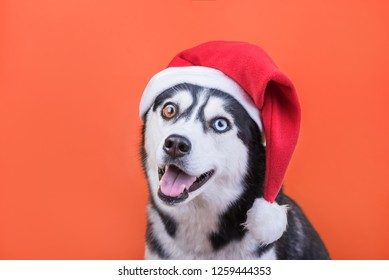 Merry Christmas and Happy New Year, Cheerful dog husky in Santa Claus hat