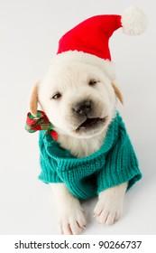 Merry Christmas - portrait of cute labrador puppy