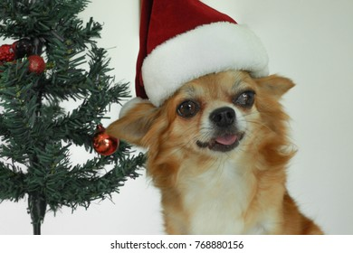 Merry Christmas.Happy New Year. Beautiful dog posing in Christmas hat with a Christmas tree on a white background