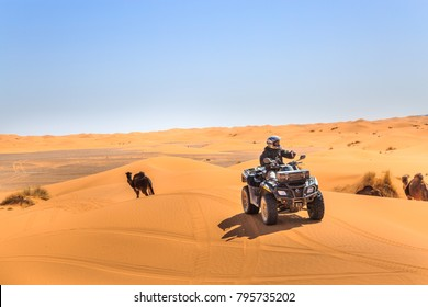 Merzouga, Morocco - February 25, 2016: A rider on a quad ATV drives over sand dunes passing camels as they wander under a blue sky on a sunny day in the Sahara Desert.