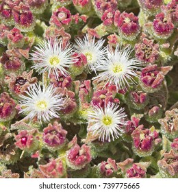 Mesembryanthemum crystallinum (crystalline ice plant) growing on a sandy beach, Oualidia, Morocco.