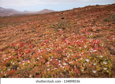 Mesembryanthemum crystallinum in malpais on Fuerteventura, Canary Islands
