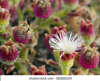 Mesembryanthemum Crystallinum,Crystalline Ice Plant growing wild in southern Tenerife,Canary Islands,Spain