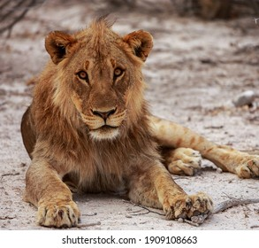 A mesmerizing shot of a male lion in all of his glory