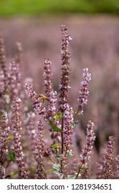 Mesona flower blossom close up, fairy grass.