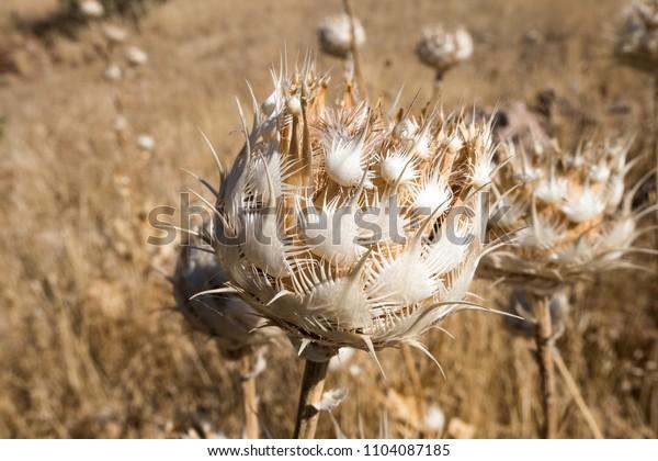 Mesopotamian flower, Mardin, Turkey