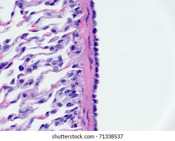 Mesothelium cells on lung surface