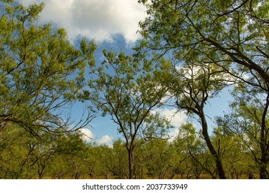 Mesquite trees against a partly cloudy blue sky at Palmetto State Park, Gonzales, Gonzalez County, Texas, USA. Land of Jumanos, Tonkawa, Ndé Kónitsąąíí Gokíyaa (Lipan Apache), Coahuiltecan, Sana