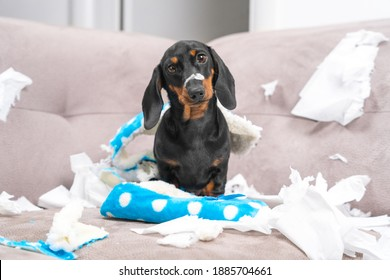 Mess dachshund puppy was left at home alone, started making a mess. Pet tore up furniture and chews home slipper of owner. Baby dog is sitting in the middle of chaos, gnawed clothes, looks piteously