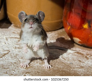 A messy flour encrusted wild brown house mouse, Mus musculus sitting up on his haunches facing the camera. The rodent is in a kitchen cabinet standing on spilled flour with jars of food in background.