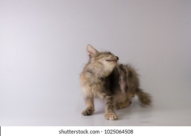 Messy gray kitten scratching ears with feet on white background