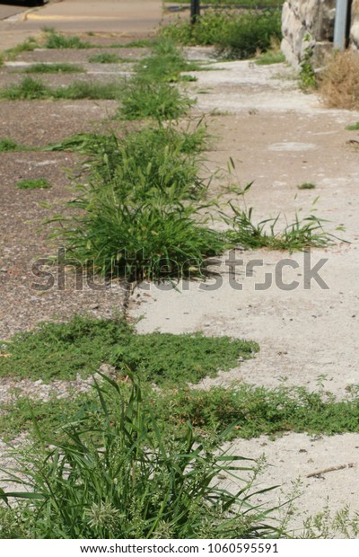 messy-sidewalk-long-grass-weeds-600w-106
