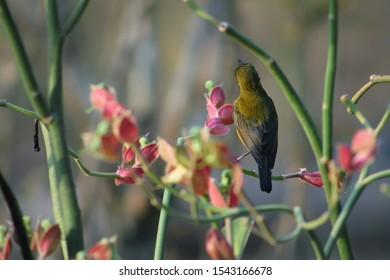 Mesuji, Indonesia 2019 : The sriganti honey bird (Latin: Nectarinia jugularis) is a species of bird from the family Nectariniidae, of the genus Nectarinia