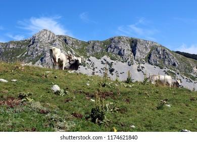 Meta mountain, grazing cows, Abruzzo National Park, National reserve, Italy