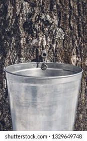 Metal pail attached to a maple tree to collect sap. Maple syrup production in Quebec.