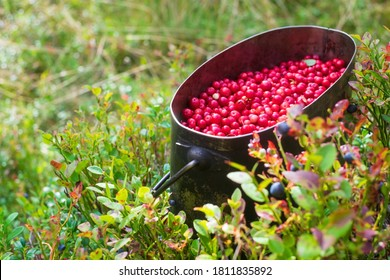 Metal pot filled with red fresh cowberries at the forest
