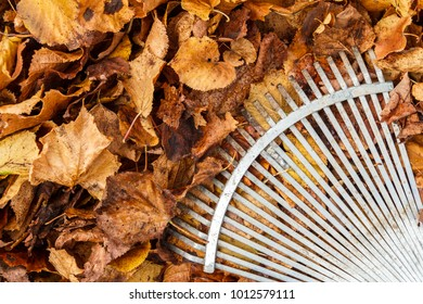 Metal rake in pile of leaves