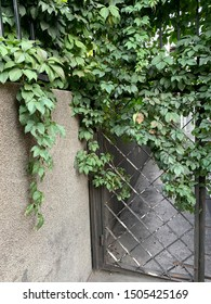 The metal wicket between stone walls. Green vines twist the gate. Stone fence and wicket to the house with green leaves vine