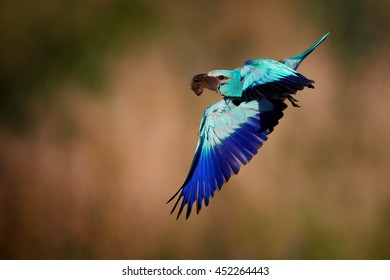 Metallic blue colored bird, European Roller, Coracias garrulus,male flying with mouse in its beak against abstract orange background. Hungary. Close-up photo.