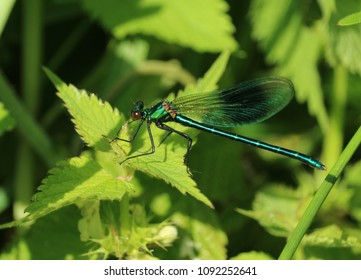 Metallic green / blue damsel fly on natural nettles and plants background. Detailed macro photograph.