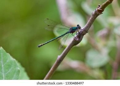 A metallic green damselfly with red eggs perched on a twig (insects of Western Siberia).