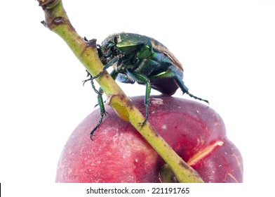 Metallic green fig beetle (Cotinus texana) on apricot also called 'green fruit beetle', 'junebug', and 'figeater'). Common to the southwestern United States.