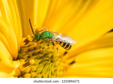 Metallic Green Sweat Bee (Agapostemon) gethering nectar and pollen on a wild yellow sunflower (Helianthus nutallii)