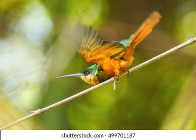Metallic green, tropical bird, Galbula ruficauda, Rufous-tailed Jacamar, perched on branch in bamboo forest with outstretched wings. Tobago, Main ridge forest reserve. Trinidad and Tobago.