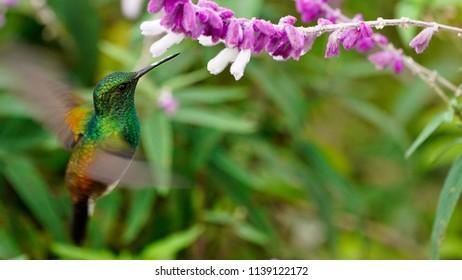Purple fuzzy flower images stock photos vectors shutterstock metallic hummingbird feeding on fuzzy purple and white flowers mightylinksfo