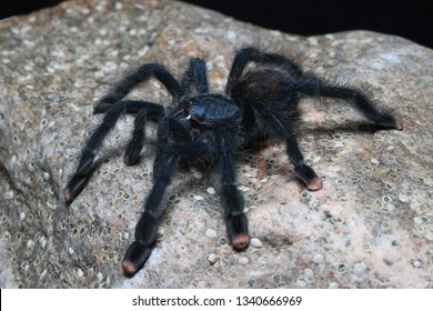 Metallic Pinktoe Tarantula (Avicularia metallica) gorgeous fuzzy arboreal tarantula. It has iridescent shades of blues and greens over its entire body
