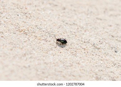 Metallic Purple and Green Flea Beetle (Altica sp.) Crawling on Sandstone on the Eastern Plains of Colorado