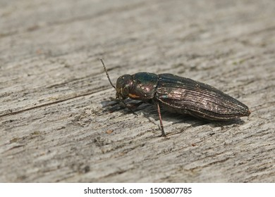 Metallic wood borer sitting on a dead spruce log. Picture from the Central European montane forest. A rare species occurring in old growth forests in its natural environment.