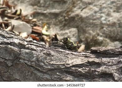 Metallic wood boring beetle, Coba, Mexico