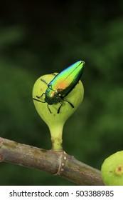 metallic wood-boring beetle on fig fruit