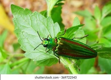 metallic wood-boring beetle on leaf