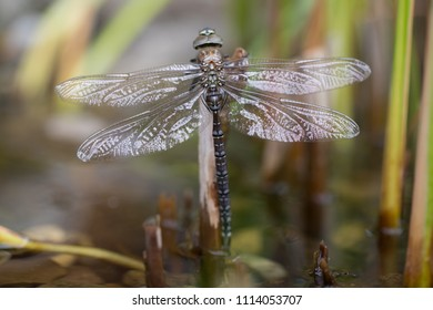 Metamophosis Of A Southern Hawker Dragonfly